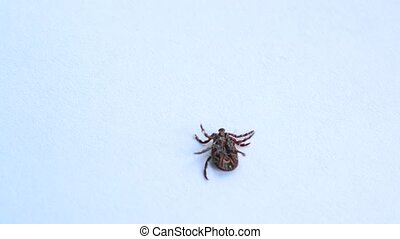 Tick lies upside down, turns over and crawls out of frame -...