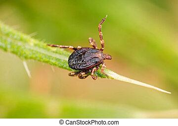 Parasite tick on the grass