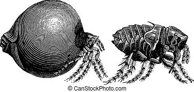 Tick vintage engraving