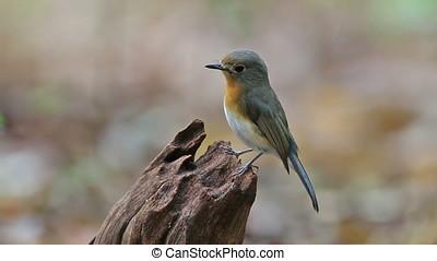 Tickell's blue flycatcher Cyornis tickelliae Beautiful...