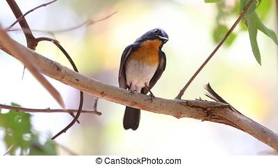 Tickell's blue flycatcher Cyornis tickelliae Male Cute Birds...