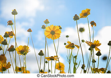 tickseed, flores, en, cielo, plano de fondo