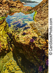 Tide pool with sea urchins and crabs