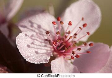 tidigt, fjäder, rosa, träd, blomstringar