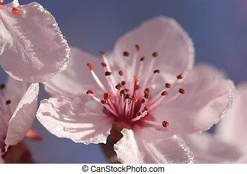 tidligere, forår, lyserød, træ, blomstre
