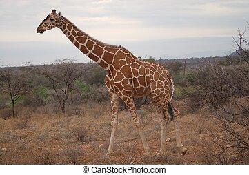 tien, giraffe, -
