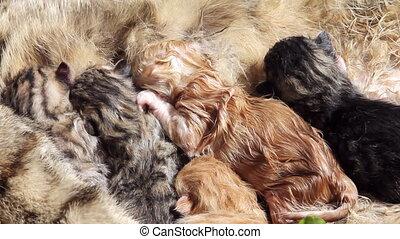 tien, oud, kat, pasgeboren, 3, drinkt, notulen, melk