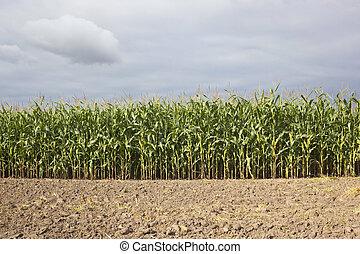 tierra, campo, maíz
