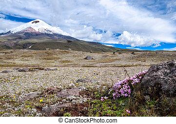 tierras altas, américa, cotopaxi, volcán, crocuses., encima...