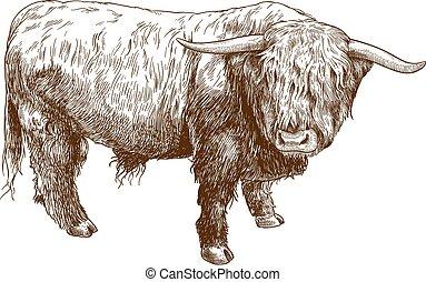 tierras altas, grabado, ilustración, ganado