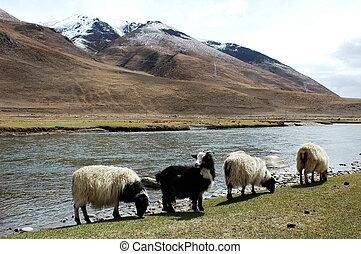 tierras altas, paisaje, tibet