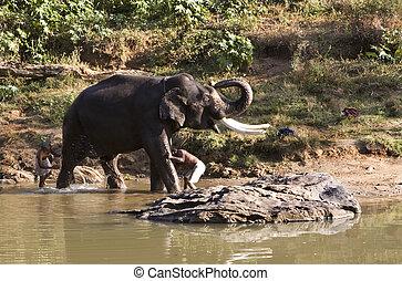 tierwelt, bekommen, mudhumalai, bad, indischer elefant, ...