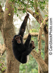 tierwelt, -, chimps, afrikanisch