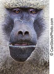 tierwelt, tansania, -, nationalpark, tarangire, pavian,...
