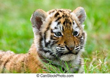 tiger, かわいい, siberian, 幼獣