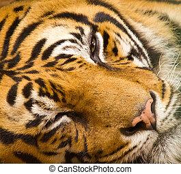 tiger, クローズアップ, 顔