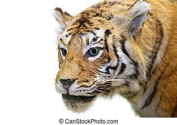 ∥, tiger