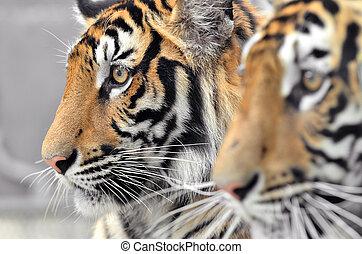 tiger, ベンガル, 顔