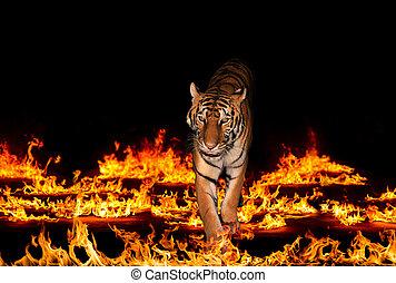 tiger, 燃え上がる, 炎