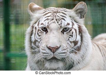 tiger, 白, 顔