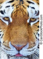tiger, 肖像画, マレ, siberian