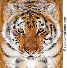 tiger, 肖像画, 歯, 冬
