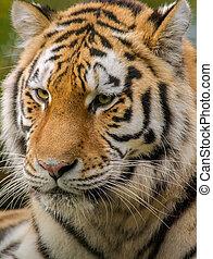 tiger, 肖像画, siberian