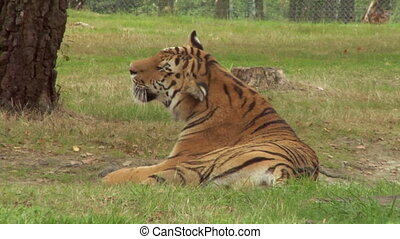 tiger 02 - A tiger