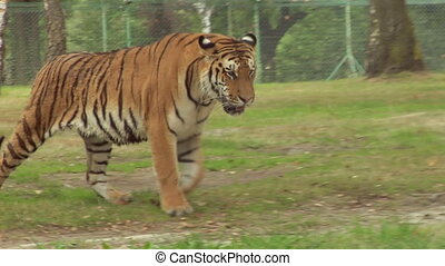tiger 04 - A tiger