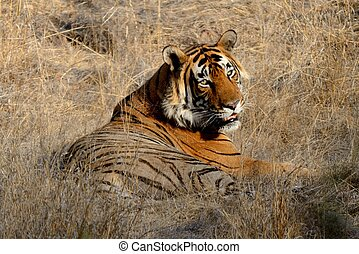 Tiger A Muscular Mammal