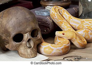 Lavender Tiger Albino python looking at human skull closeup