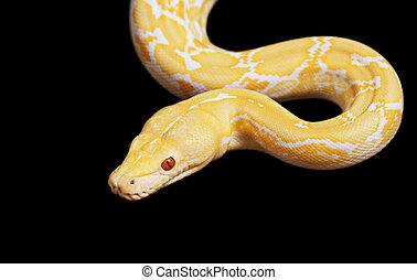 Tiger Albino python snake isolated on black background