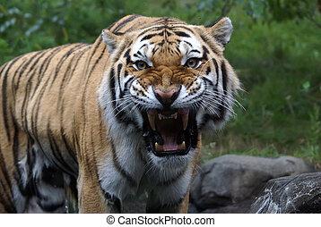 """tiger, """"amur"""", sibiřský"""