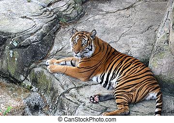 Tiger At Rest - A beautiful tiger resting on rocks.