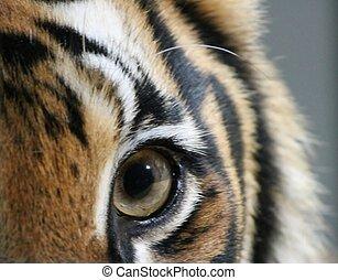 tiger, aufschließen, auge