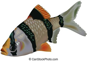 Tiger Barb (Puntius tetrazona) - High detailed illustration