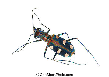 tiger beetle bug insect isolated on white