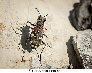 Tiger beetle looking for prey on a stone - Tiger beetle (...