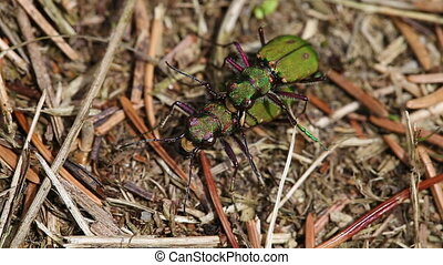 Tiger Beetle - mating - Field Tiger Beetle in mating - in a...