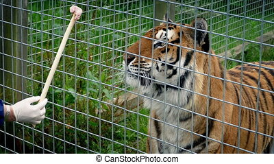 Tiger Being Hand Fed In Enclosure - Person feeds tiger meat...