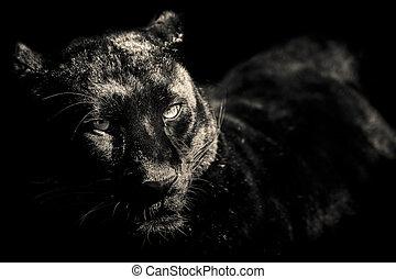 tiger black and white portrait