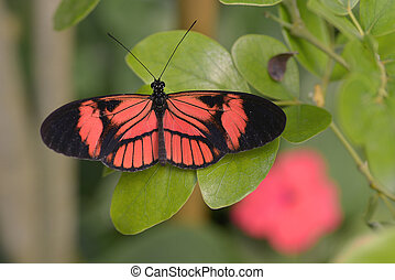 tiger, borboleta longwing, ligado, folha