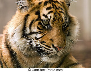 Closeup of younger tiger looking relaxed yet watchful
