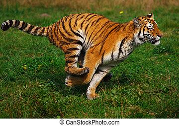 tiger, correndo, siberiano