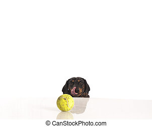 Tiger dachshund and tennis ball on a white background