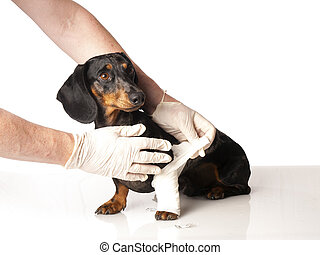 tiger dachshund with a bandage on his leg on a white background