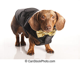 tiger dachshund with a bow on a white background