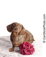 tiger dachshund with bunch of flowers on a white background