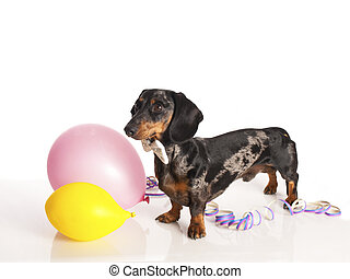 tiger dachshund with party balloons on a white background