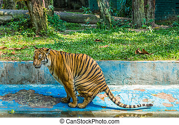 Tiger defecating in the zoo